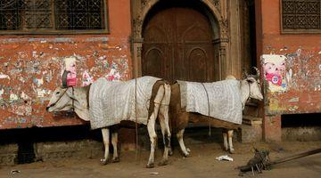 doors + cows