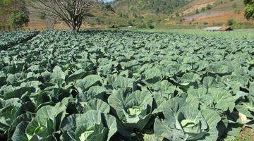 Kalaw Cabbage
